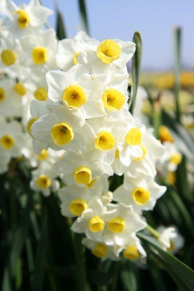 Narcissus Avalanche Plants Oak Leaf Gardening