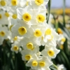 narcissus-avalanche-flower1