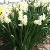 narcissus-avalanche-plant1
