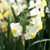 narcissus-avalanche-stem1