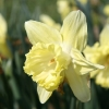 narcissus-bergerac-flower1