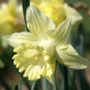 narcissus-bergerac-flower2