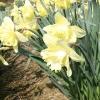 narcissus-bergerac-plant1