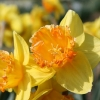 narcissus-coral-crown-flower1