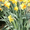 narcissus-coral-crown-plant1