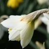 narcissus-desdemona-flower1