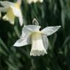 narcissus-desdemona-flower2