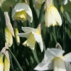narcissus-desdemona-flower3
