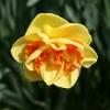 narcissus-kiwi-sunset-flower1