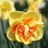 narcissus-kiwi-sunset-flower2