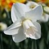 narcissus-lavender-mist-flower1