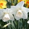 narcissus-lavender-mist-flower2