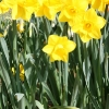 narcissus-midas-touch-plant1