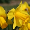 narcissus-morab-flower2