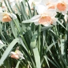narcissus-recital-plant1