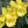 narcissus-spellbinder-flower1