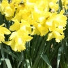 narcissus-spellbinder-plant1