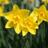 narcissus-sweetness-flower1