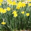 narcissus-sweetness-plant1