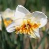 narcissus-trepolo-flower2