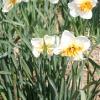 narcissus-trepolo-plant1