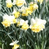 narcissus-wave-plant1