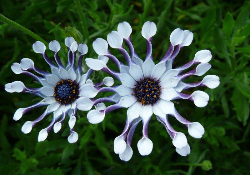 Image Gallery Osteospermum