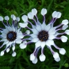 osteospermum-whirlygig-flower1