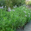 osteospermum-whirlygig-plant1