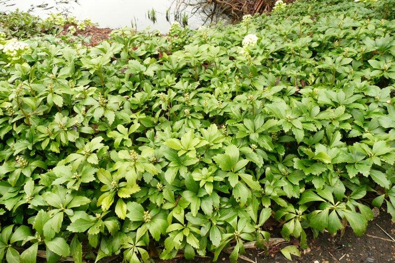 pachysandra terminalis plants oak leaf gardening. Black Bedroom Furniture Sets. Home Design Ideas