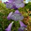 penstemon-alice-hindley-flower1
