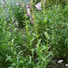 penstemon-alice-hindley-plant1