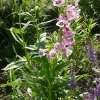penstemon-lilac-and-burgundy-plant1