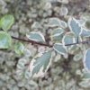 pittosporum-tenuifolium-silver-magic-stem1