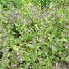 pulmonaria-lewis-palmer-plant1_0