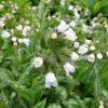 pulmonaria-opal-flower1