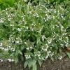 pulmonaria-opal-plant1