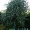 pyrus-salicifolia-pendula-plant1