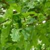 quercus-robur-leaf1