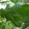 quercus-robur-leaf2