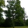 quercus-robur-plant1