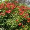 rosa-eyepaint-plant