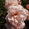 rosa-felicia-flower1