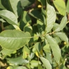 rosa-felicia-leaf1