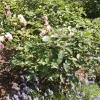 rosa-felicia-plant1