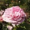 rosa-lavender-lassie-flower1