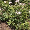 rosa-lavender-lassie-plant1