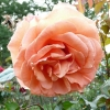 rosa-tatton-fryentice-flower1