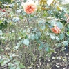 rosa-tatton-fryentice-plant1