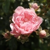 rosa-the-fairy-flower1